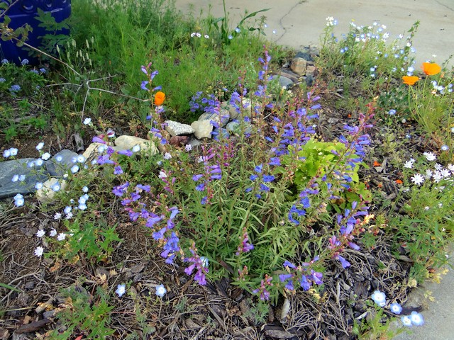 Penstemon heterophyllus 'Blue Springs' (foothill beardtongue)