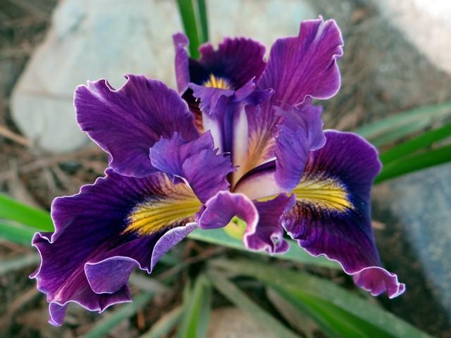 Iris 'Pacific Coast Hybrid'