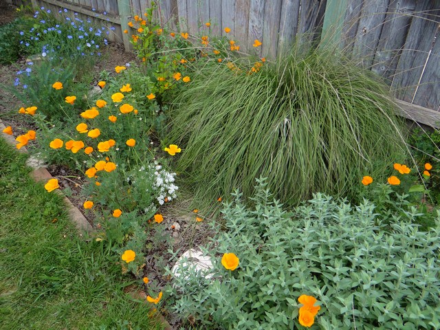 Eschscholzia californica (California poppies), Linum lewisii (blue flax), and Muehlenbergia rigens (deergrass)