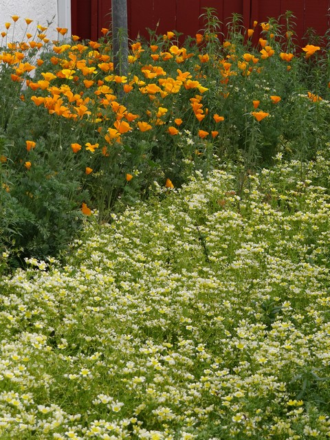 Eschscholzia californica (California poppies) and Limnanthes douglasii (Douglas' meadowfoam)