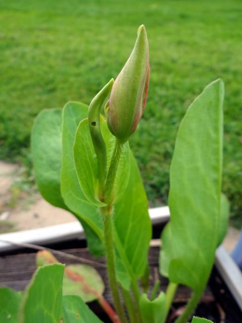 Anemopsis californica (yerba mansa)