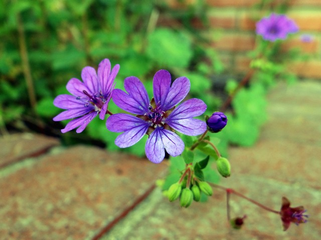 Geranium pyrenaicum 'Bill Wallis' (hedgerow cranesbill)