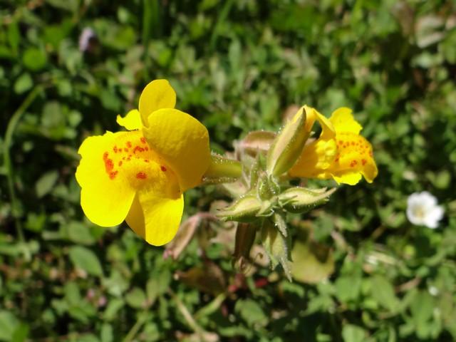 Mimulus guttatus (seep monkeyflower)