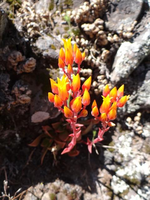 Dudleya cymosa (canyon liveforever)