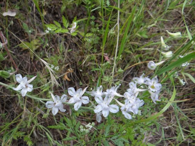 Delphinium sp. (larkspur)