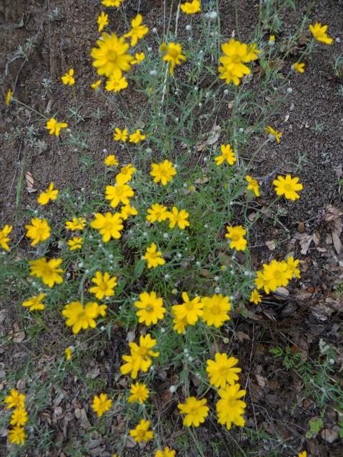 Eriophyllum lanatum (woolly sunflower)