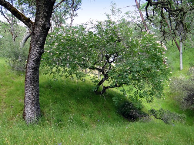 Aesculus californica (California buckeye)