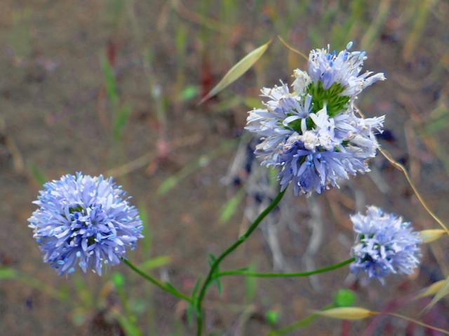 Gilia capitata (blue globe gilia)