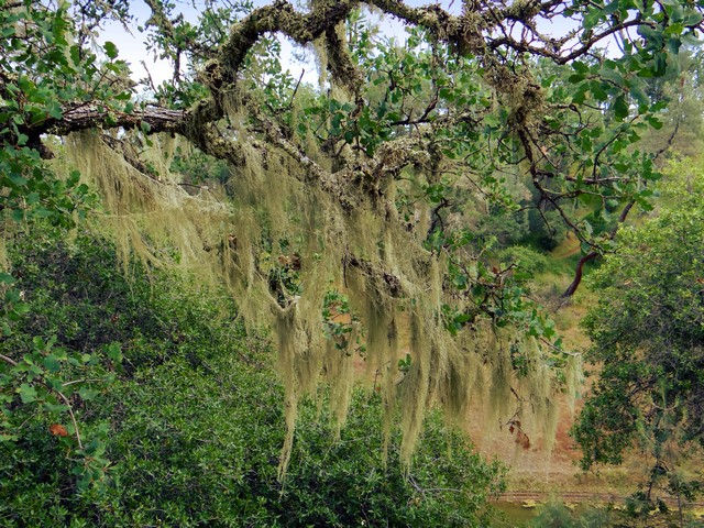 lichen hanging from an oak tree