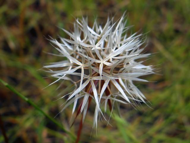 Uropappus lindleyi (silverpuffs)