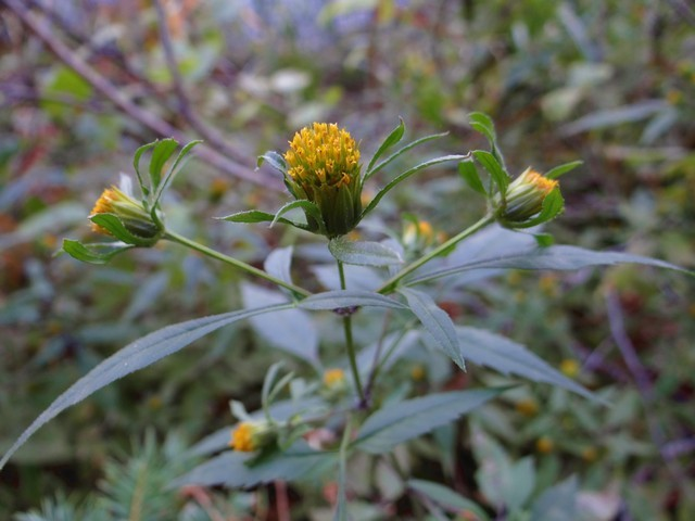 sticktight (Bidens frondosa)