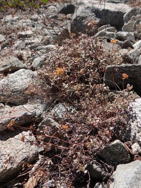 buckwheat (Eriogonum sp.)