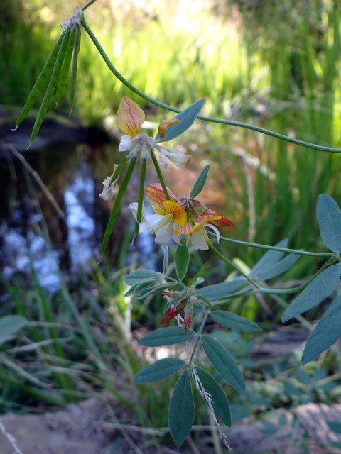 narrowleaf deerweed (Hosackia oblongifolia)