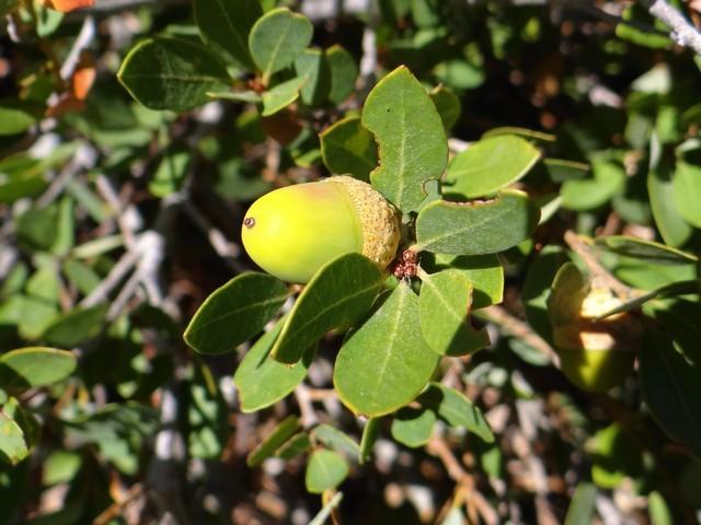 Huckleberry oak (Quercus vacciniifolia)