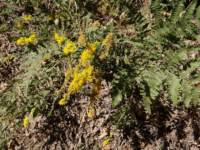 West Coast Canadian goldenrod (Solidago elongata)