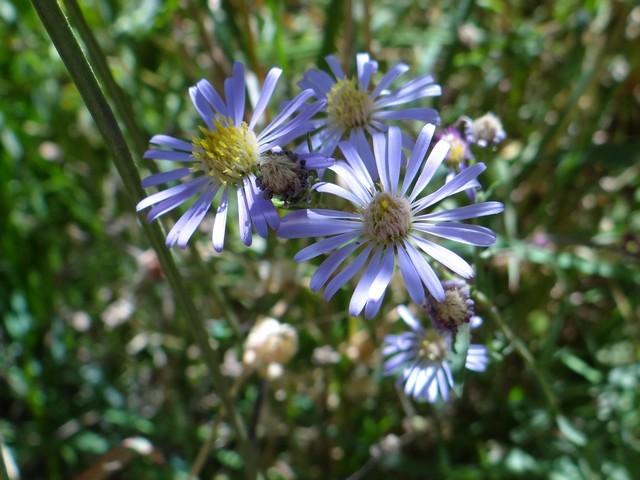 Western mountain aster (Symphyotrichum spathulatum)