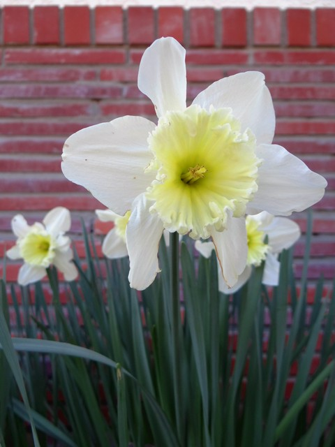Narcissus sp. (daffodils)