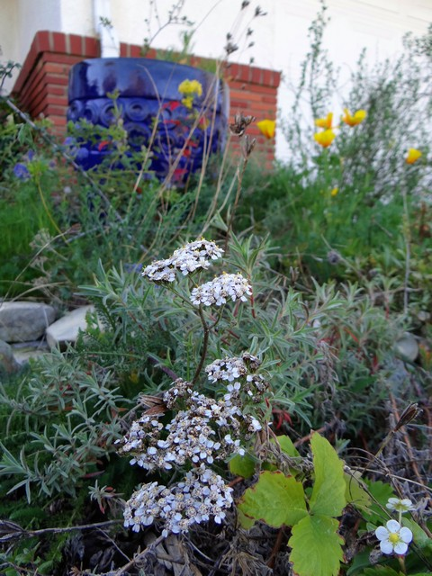 Achillea millefolium (yarrow), Eschscholzia californica (California poppies), and Berberis aquifolium (Oregon grape)