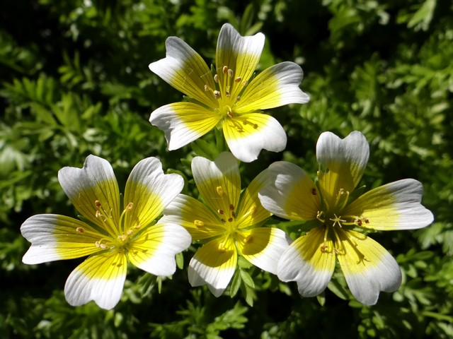 Limnanthes douglasii (Douglas' meadowfoam)