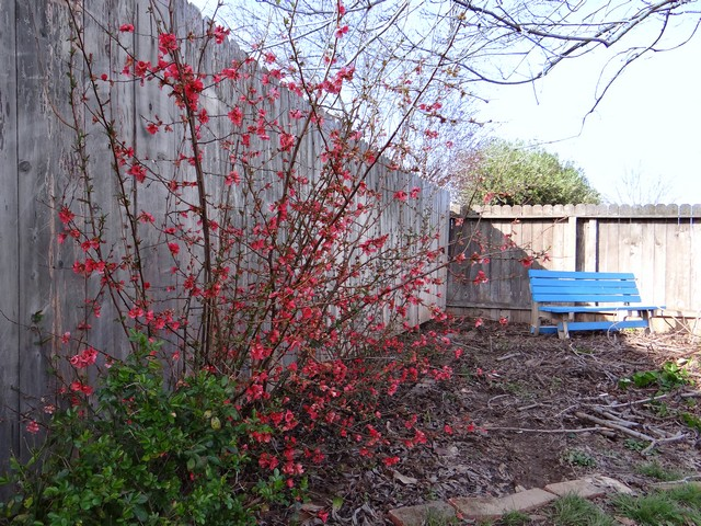 Chaenomeles japonica (Japanese flowering quince)