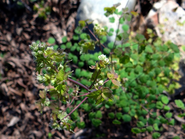 Thalictrum fendleri (meadow rue)