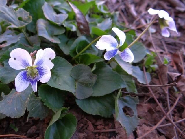Viola sororia (Confederate violet)