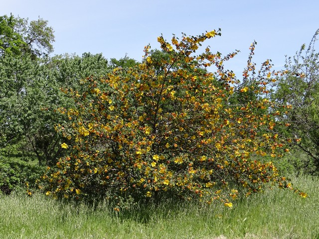 Fremontodendron californicum (California flannelbush)