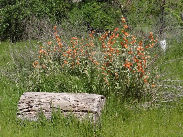 Sphaeralcea ambigua (desert mallow)