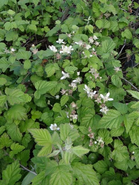 Rubus ursinus (Pacific blackberry)