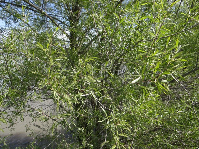 Salix gooddingii (Goodding's black willow)