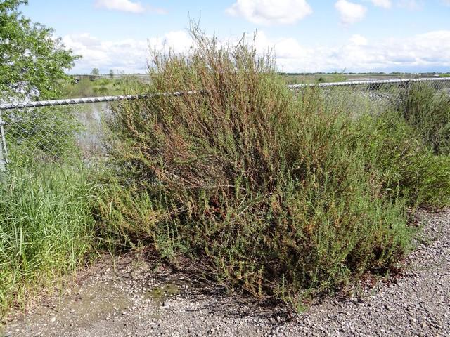 Eriogonum fasciculatum (Mojave buckwheat)