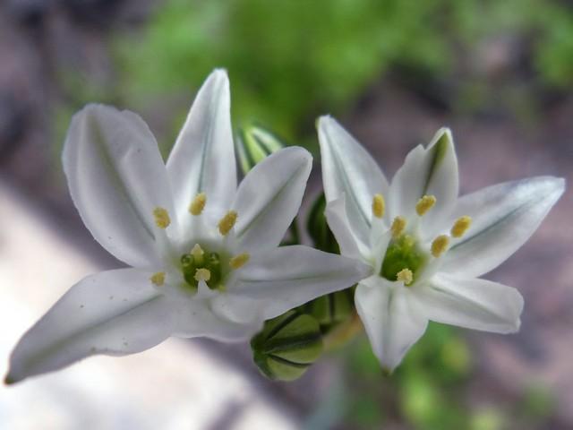 Tritelaia hyacinthina (white prettyface)