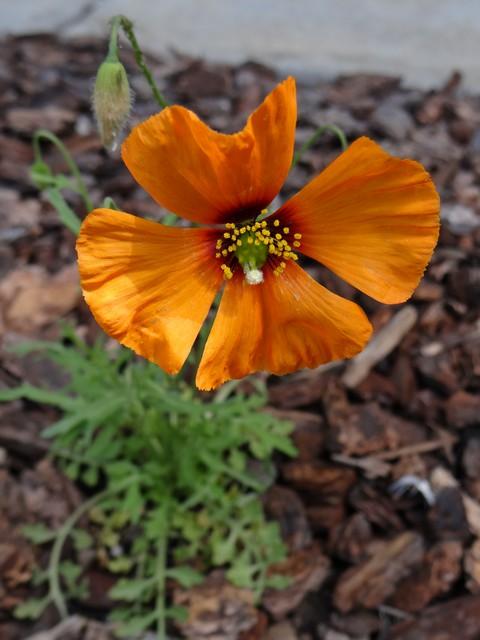 Papaver heterophyllum (wind poppy)