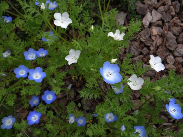 Nemophila menziesii (baby blue eyes, regular and all-white forms)