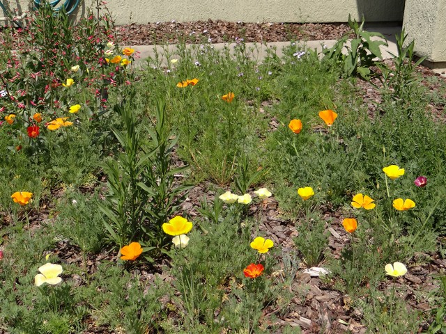 Penstemon centranthifolius (scarlet bugler), Eschscholzia californica (California poppy), and Gilia tricolor (bird's eyes)