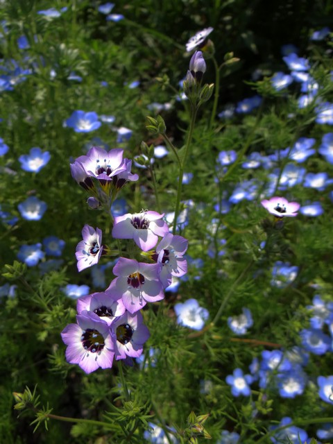 Gilia tricolor (bird's eyes) and Nemophila menziesii (baby blue eyes)
