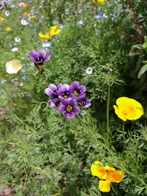 Gilia tricolor (bird's eyes, regular and dark purple forms), Nemophila menziesii (baby blue eyes), and Eschscholzia californica (California poppy)