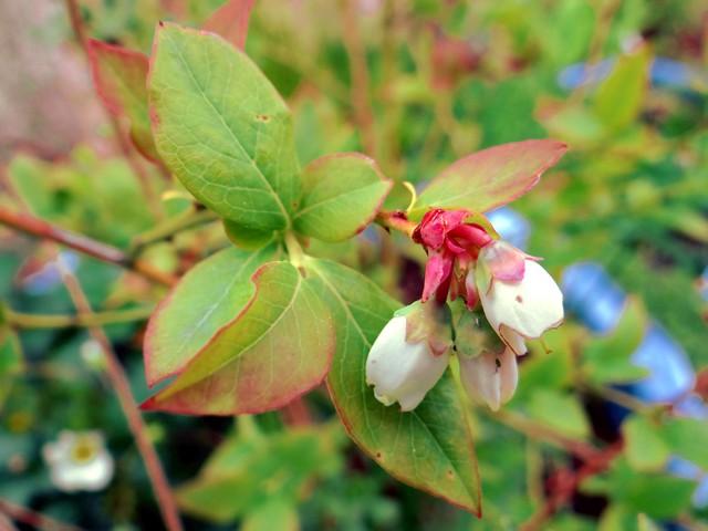 Vaccinium corymbosum 'Legacy' (highbush blueberry)