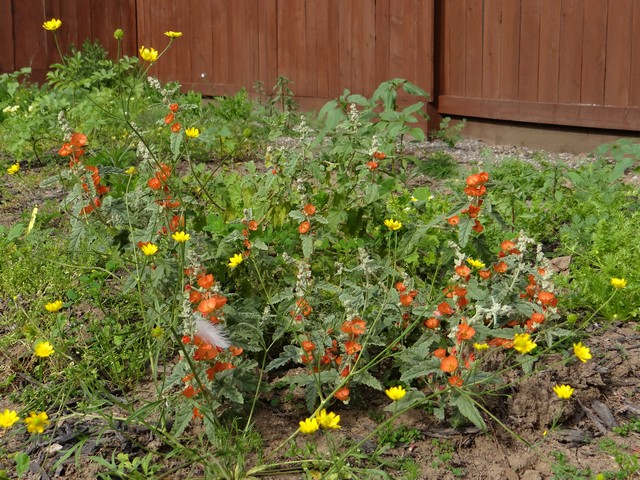 Sphaeralcea ambigua (desert globemallow) and Ranunculus californicus (California buttercup)