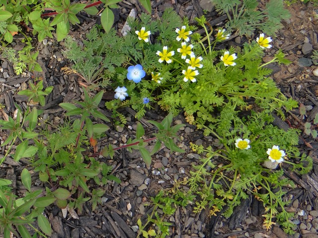 Limnanthes douglasii (Douglas meadowfoam) and Nemophila menziesii (baby blue eyes)
