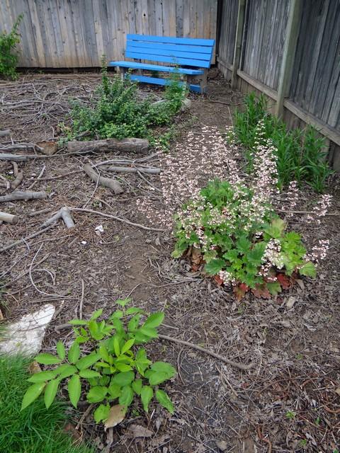 Heuchera maxima (island alum root)