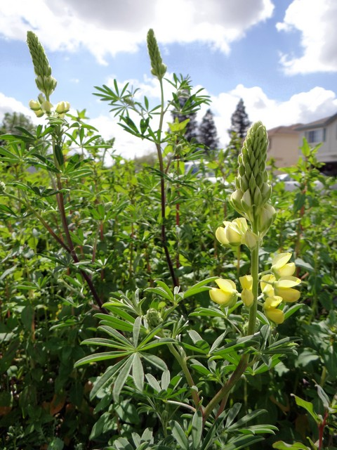 Lupinus arboreus (yellow bush lupine)