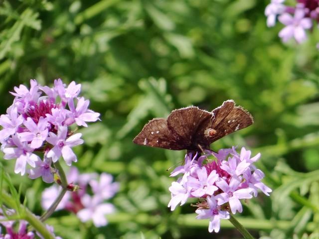 Erynnis tristis (mournful duskywing) on Verbena lilacina 'De La Mina' (lilac vervain)