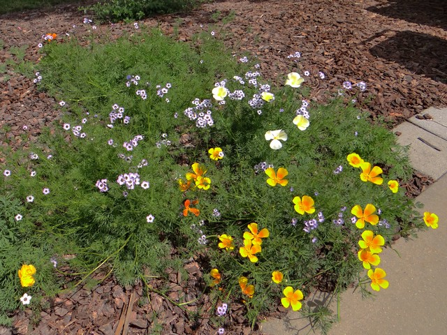 Eschscholzia californica (California poppy) and Gilia tricolor (bird's eyes)