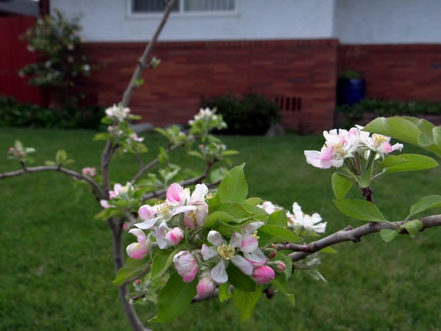 Malus pumila 'Gala' (apple)