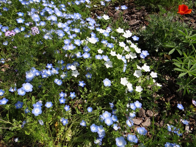 Nemophila menziesii (baby blue eyes, regular and all-white forms), Gilia tricolor (bird's eyes), and Eschscholzia californica (California poppy)