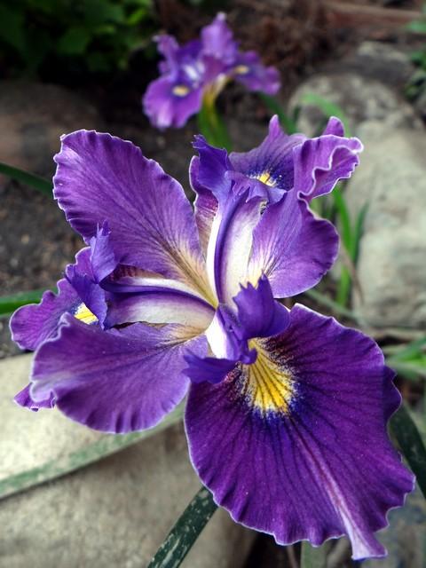 Iris 'Pacific Coast Hybrid' (Pacific Coast hybrid iris)