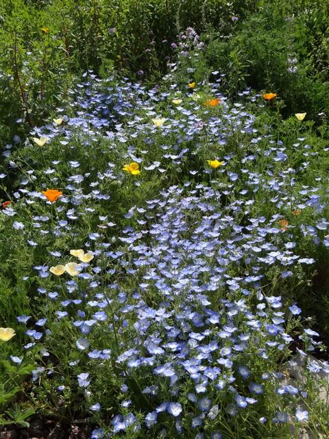 Eschscholzia californica (California poppy), Nemophila menziesii (baby blue eyes), and Lupinus albifrons (silver bush lupine)