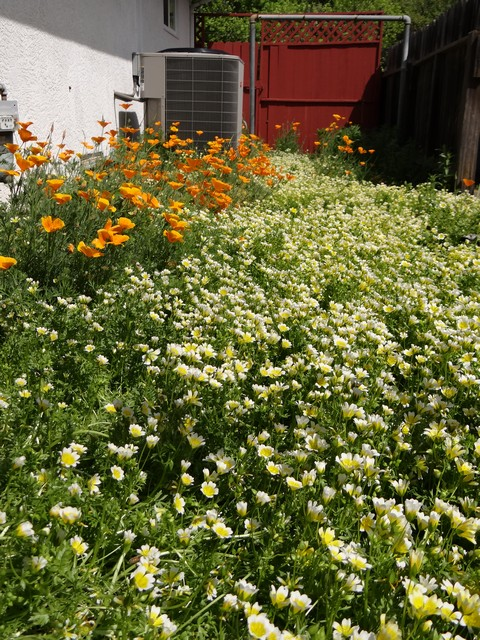 Limnanthes douglasii (Douglas' meadowfoam) and Eschscholzia californica (California poppy)