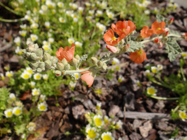 Sphaeralcea munroana (Munro's globemallow) and Limnanthes douglasii (Douglas' meadowfoam)